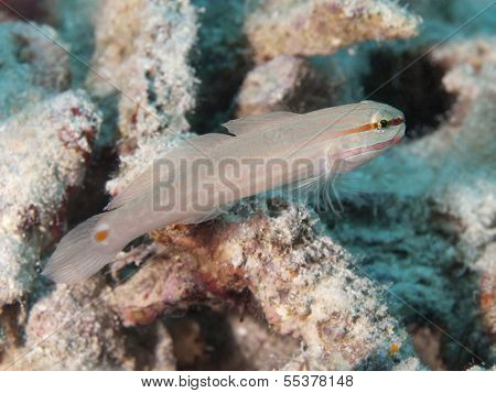 Orange-striped Goby