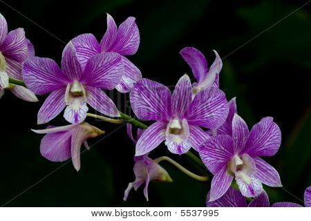 Purple Orchid Bloom