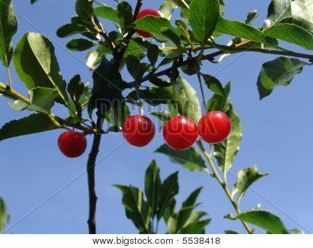 Four Cherry