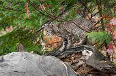 Bobcat Kitten (Lynx rufus) Climbs About on Log - captive animal poster