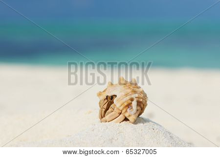 Hermit crab on beach at Maldives poster