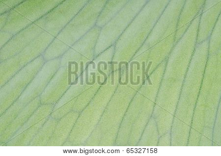 Staghorn Fern Laves Background