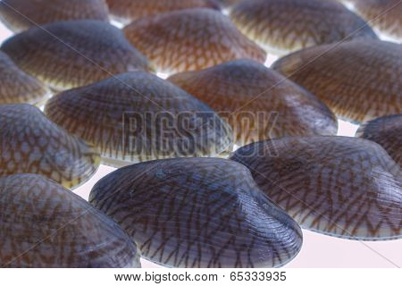 Closeup Fresh Raw Surf Clam Isolated.