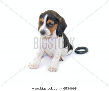 Cute tri-colored beagle puppy sitting isolated on white background poster