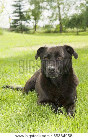 Black Pariah-dog Lying