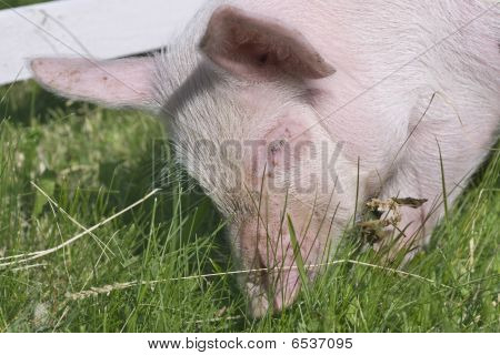 small pig on a grass. small pigs on a grass. poster