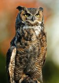 Beautiful portrait of the Great Northern Horned Owl over vibrant autumn background poster