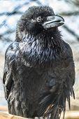 Close up portrait of a Common raven poster
