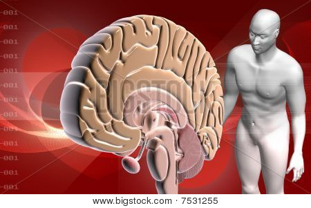 Brain and human body