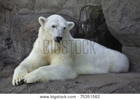 Portrait of a polar bear female resting with a graceful pose. Cute and caddly beast the most dangerous and mighty predator of the world. Wild beauty of the animal from cold and severe Norht. poster