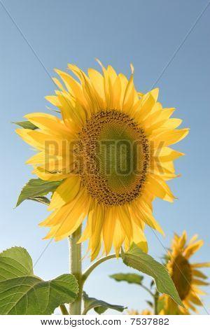 Sunflower In Frias