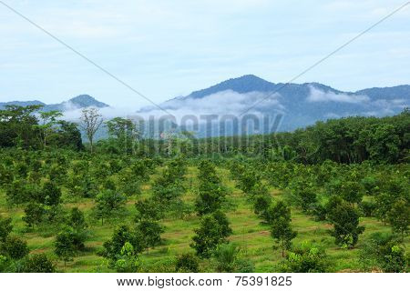 Orange trees plantation surrounded by mountains and fog