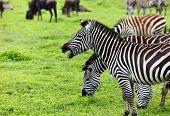 Zebras in Ngorongoro conservation area, Tanzania poster