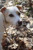 Jack Russel posing on a summner day in the fall poster