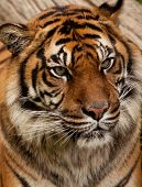 Close up portrait of a fierce tiger poster