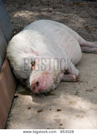 a white pot-bellied pig sleeping poster