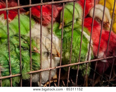 Colorful chicken in the cage