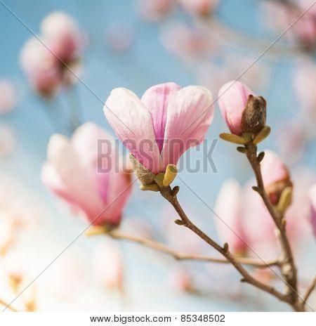 Magnolia Pink Flowers