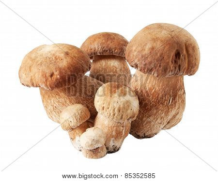 Porcini Mushrooms. Cep On White Background