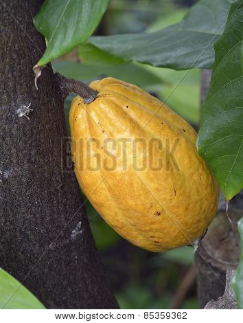Cocoa Tree Fruit