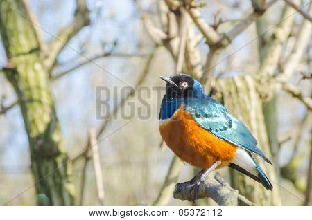 Superb Starling Blue And Red Orange African Bird Profile Portrait