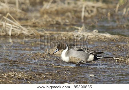 Northern Pintail Wading.