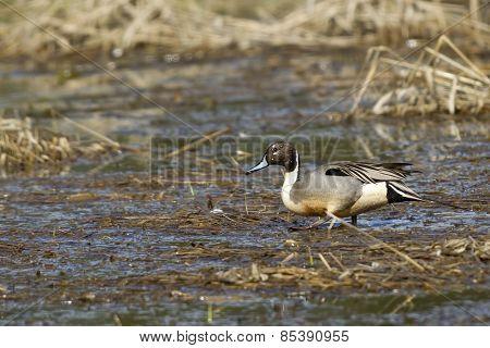 Pintail Wades Through Wetlands.