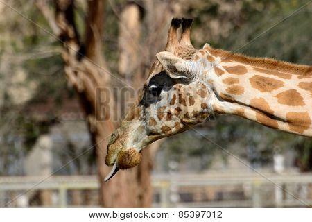 Giraffe Sticking Out Tounge