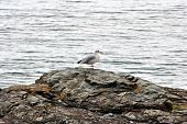a grey and white seagull on a cliff over the atlantic ocean in greystones wicklow ireland poster