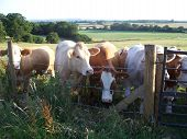 a herd of cows in a field poster