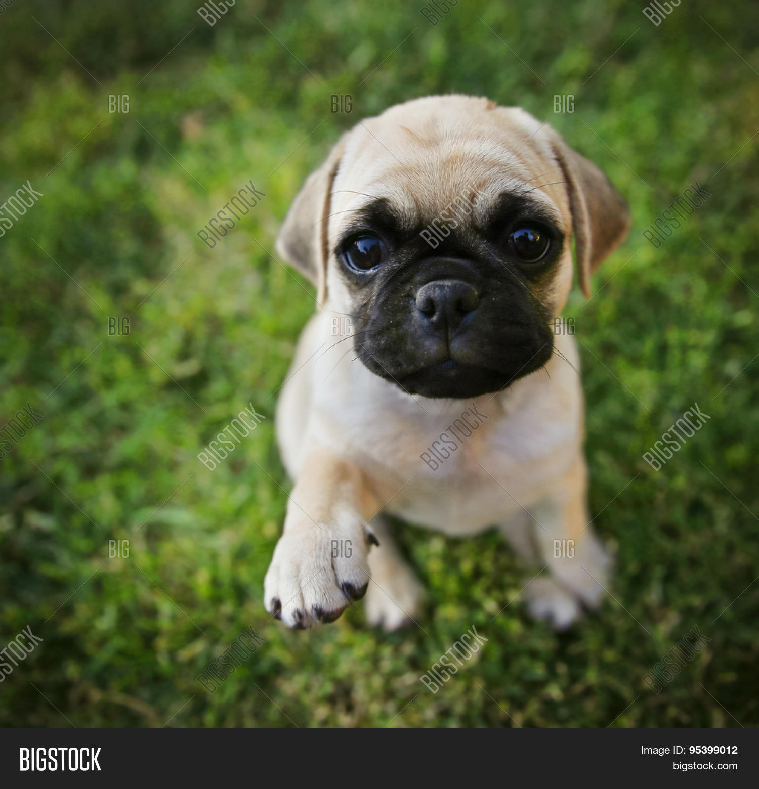 Cute Chihuahua Pug Mix Image & Photo (Free Trial) | Bigstock