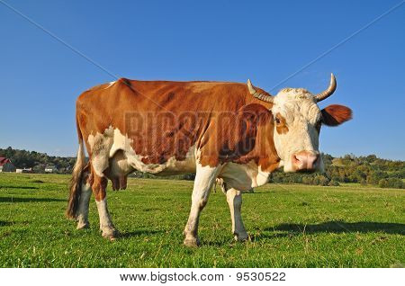 poster of Cow on a summer pasture in a rural landscape under clouds.