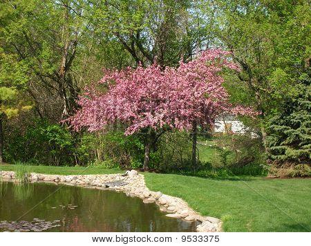 Pink Flowering Crab Tree