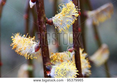 Willow tree in bloom