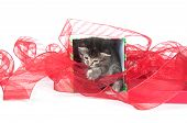 tabby kitten sitting inside of gift box with red ribbon on white background poster