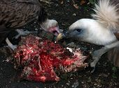 two vultures eating meat at belgrade zoo poster