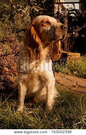 Hunting dog waiting for the command of his master