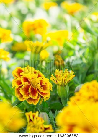 Marigold flowers in the garden, yellow flower in the park