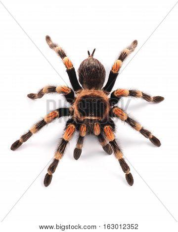 Tarantula spider female (Brachypelma smithi), on a white background