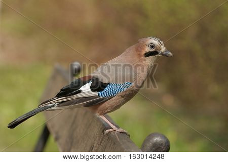 Eurasian Jay (Garrulus glandarius), bird on a park bench