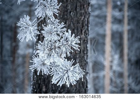 Winter, pine forest. Pine branch with needles covered by frost. Forest trees in the background. Focus on needles.
