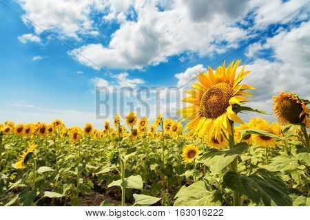 Cloudy daily landscape in the middle of summer. Sunflower field near the town of Burgas, Bulgaria