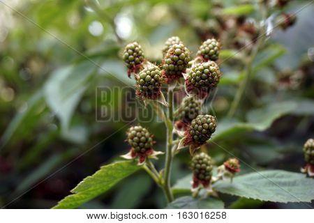 Blackberries ripen on thornless blackberry plants in a garden in Joliet, Illinois during June.