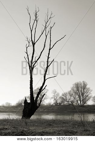 Dead tree on the banks of the river Elbe near Lostau in Germany