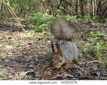 Gray Squirrel In Forest