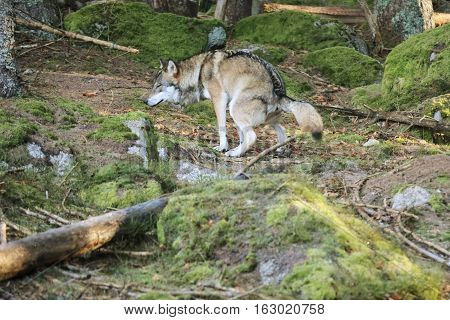 European wolf Europaeischer Wolf Canis lupus wolf CZECH REPUBLIC. European wolf in the wild in the forests of Sumava