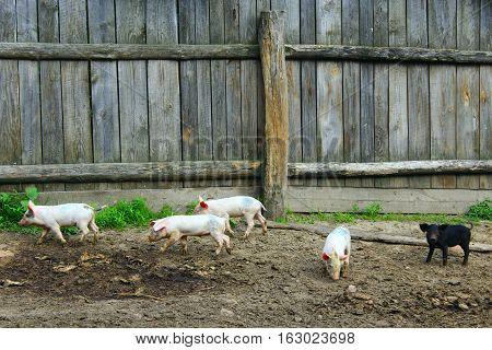 domestic piglets fun run in the barnyard