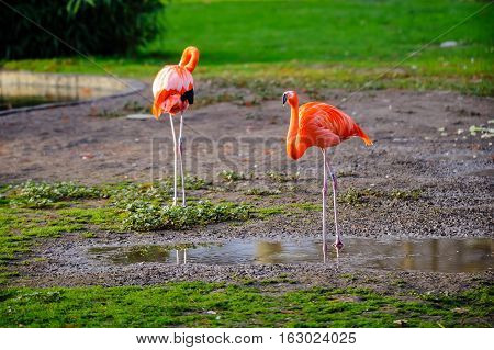 two pink flamingos on a green glade.