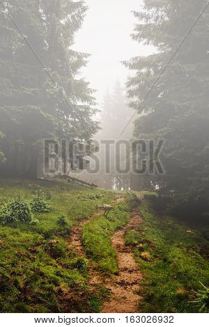 Mountain trail among pine trees in fog wonderland Carpathians Ukraine