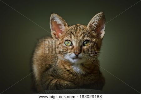 Portraite of Little Outbred Kitten over Dark Background